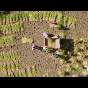川北民间传统文化纪录片《川北旧事》第五集《传统收稻谷》