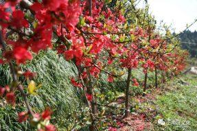 《寺外桃源讲花卉》,贴梗海棠花儿为什么这样红