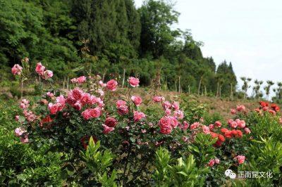 《寺外桃源讲花卉》–你们知道怎么区别藤本月季和蔷薇吗?