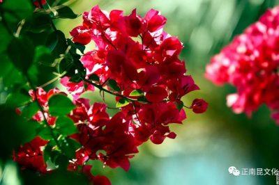 寺外桃源讲花卉 —— 为什么养不好三角梅