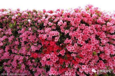 寺外桃源讲花卉 —— 杜鹃花的种类