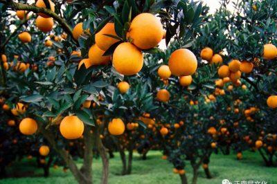 寺外桃源讲花卉 —— 柑橘的栽培要点