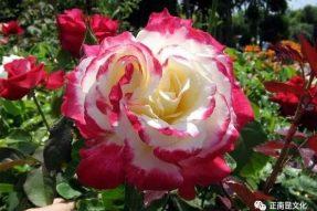 《寺外桃源讲花卉》–月季花花朵越来越小的原因(有福利)