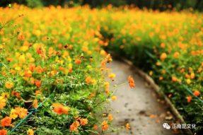 寺外桃源讲花卉——硫华菊