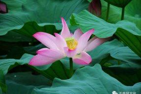 寺外桃源讲花卉 —— 荷花的用途