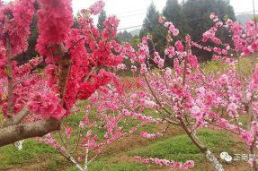 《寺外桃源讲花卉》– 满枝春娟艳桃源
