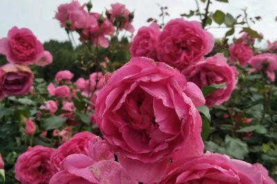《寺外桃源讲花卉》–一起来赏丰花月季