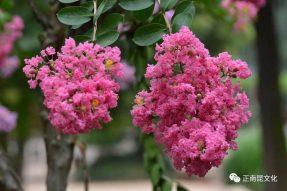 《寺外桃源讲花卉》——如何促进紫薇花期多开花