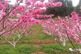 《寺外桃源讲花卉》- 桃树的施肥技术及用肥方法