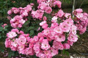 《寺外桃源讲花卉》–夏季月季花的养护建议