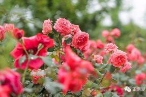 《寺外桃源讲花卉》——月季的花后修剪