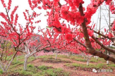 《寺外桃源讲花卉》– 树状月季的春季追肥和养护要点