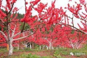 《寺外桃源讲花卉》– 桃花朵朵,如何取舍